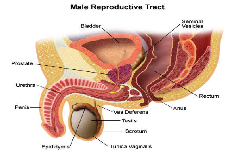 Transurethral Resection Of The Prostate Turp Winelands Urology